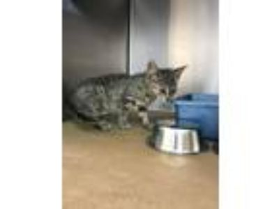 Adopt Mystic a Domestic Short Hair