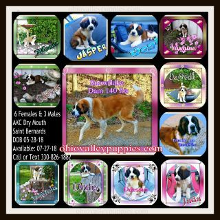 AKC Saint Bernards Dry Mouth $550 ea. text 330-826-1882