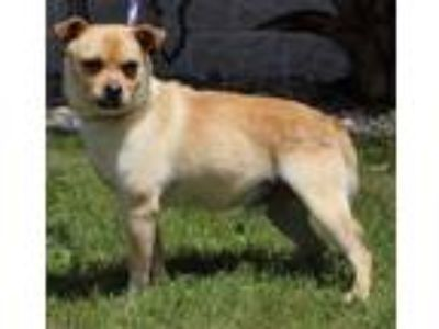 Adopt Shashi a Tan/Yellow/Fawn Terrier (Unknown Type, Small) / Pug / Mixed dog