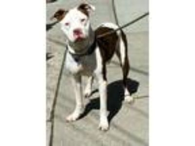 Adopt GHOST 37400 a Pit Bull Terrier