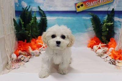 Cavapoo - Pops - Male