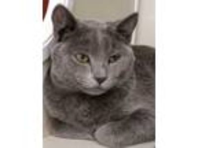 Adopt Mr. Mills a Domestic Short Hair