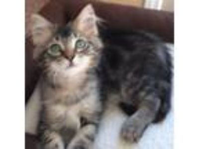 Adopt Lucy a Gray, Blue or Silver Tabby Maine Coon (medium coat) cat in Orange