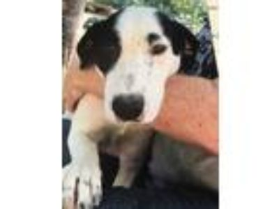 Adopt Duffy a White - with Black Hound (Unknown Type) / Mixed dog in Hohenwald