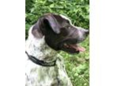 Adopt Teddy a Australian Cattle Dog / Blue Heeler