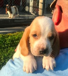 Male and female Basset Hound born on super bowl Sunday for sale