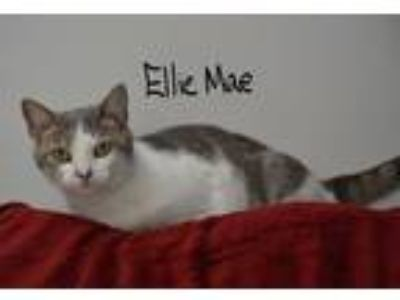 Adopt Ellie Mae a Gray or Blue (Mostly) Domestic Shorthair (short coat) cat in