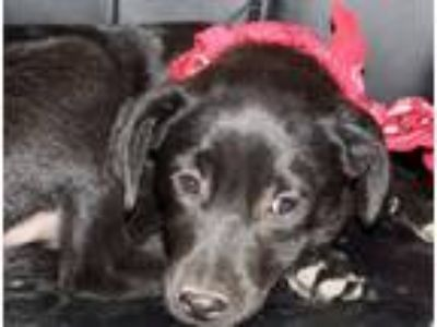 Adopt Fruity pebbles meet 5/17 a Black Retriever (Unknown Type) / Wirehaired Fox