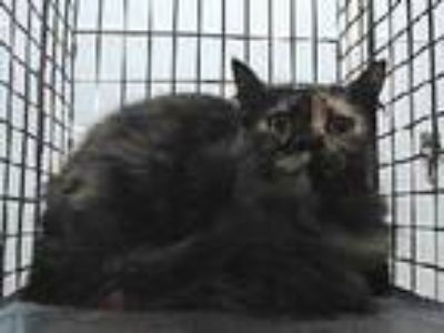 Adopt 19-19741 a Domestic Long Hair