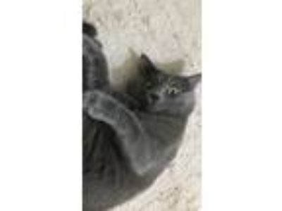 Adopt Smaug a Gray or Blue American Shorthair cat in Pharr, TX (25051524)