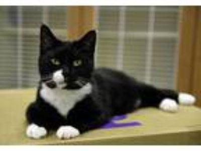 Adopt Munchkin a Black & White or Tuxedo Domestic Shorthair (short coat) cat in