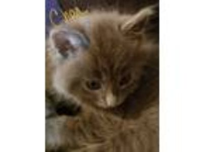 Adopt CHER a Gray or Blue Russian Blue (medium coat) cat in Los Angeles