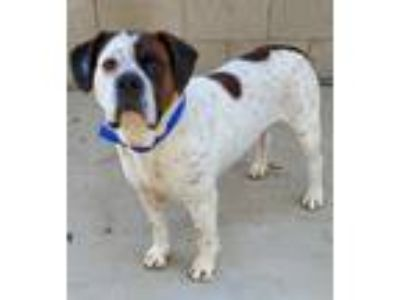 Adopt Happy a Red/Golden/Orange/Chestnut - with White Boxer / Mixed dog in