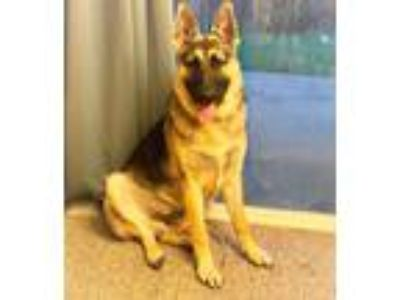 Adopt Zen-sational Zuko a German Shepherd Dog