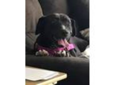 Adopt Aleia a Black - with White Labrador Retriever / Pit Bull Terrier / Mixed