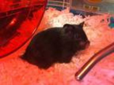 Adopt RHI RHI a Black Hamster / Mixed small animal in Santa Cruz, CA (25326812)