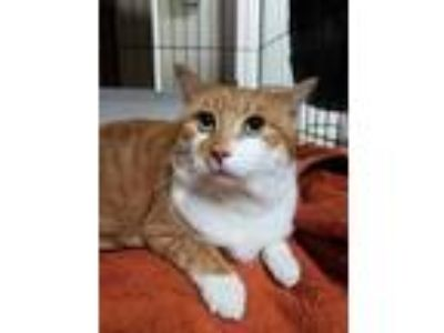 Adopt Jack a Orange or Red Domestic Shorthair (short coat) cat in E.