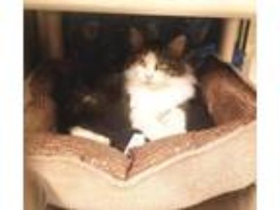 Adopt Kristalee a Domestic Long Hair, Tabby