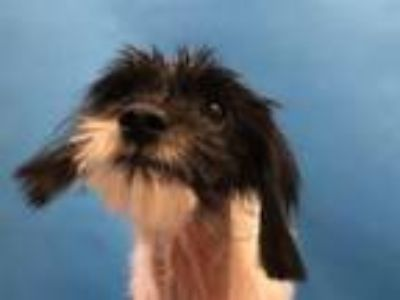 Adopt Harriet a Lhasa Apso, Mixed Breed