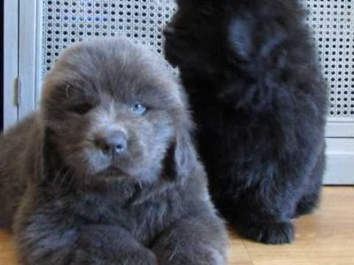 Newfoundland Puppies For adoption
