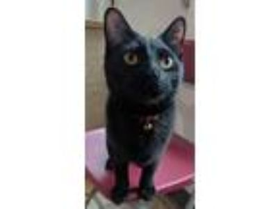 Adopt Kenai a All Black Domestic Shorthair / Mixed cat in Brighton