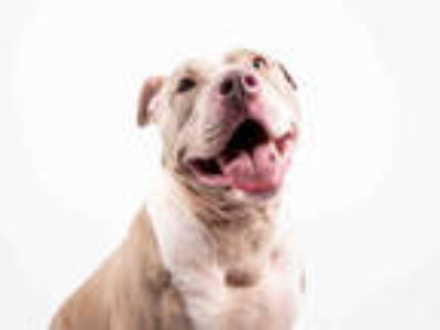 Adopt ANN a Tan/Yellow/Fawn - with White American Pit Bull Terrier / Mixed dog