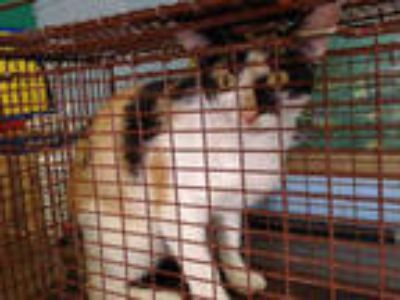 Adopt a Calico or Dilute Calico American Shorthair / Mixed (short coat) cat in
