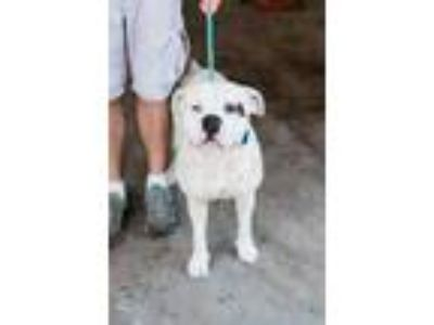Adopt Pongo a White American Pit Bull Terrier / Mixed dog in Fresno