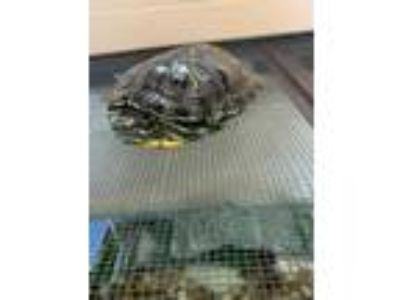 Adopt CLETUS a Turtle - Other / Turtle - Other / Mixed reptile, amphibian