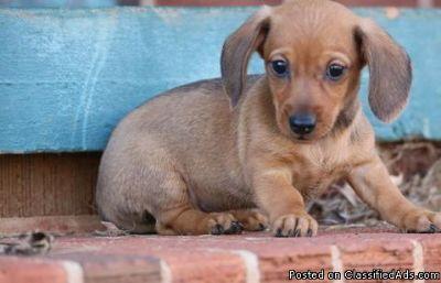 UYFCGHFG Dachshund Puppies