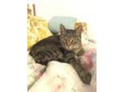 Adopt Louise a Brown Tabby American Shorthair / Mixed cat in Belleville