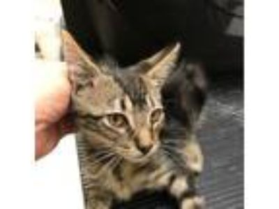 Adopt harry a Gray or Blue Domestic Shorthair cat in League City, TX (25513974)