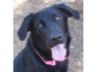 Adopt Evelyn a Black Labrador Retriever / Mixed dog in Red Bluff, CA (25221668)