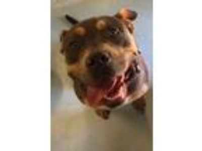 Adopt Coco a Gray/Blue/Silver/Salt & Pepper American Pit Bull Terrier / Mixed