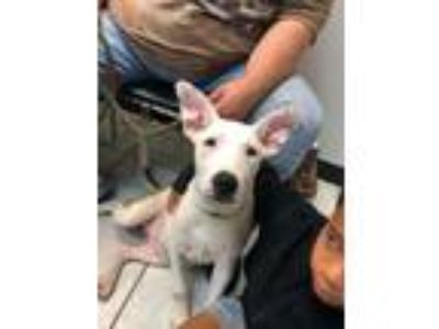 Adopt Spuds a Bull Terrier