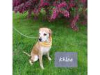 Adopt Khloe a Tan/Yellow/Fawn - with White Cocker Spaniel / Mixed dog in