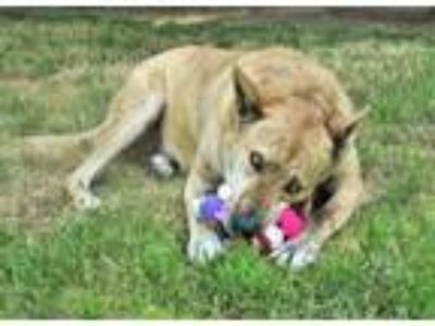 Adopt Clown a Dutch Shepherd, Greyhound