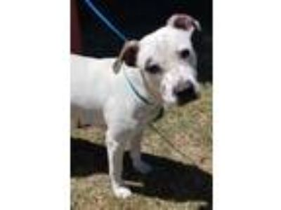 Adopt Millie a White American Pit Bull Terrier / Mixed dog in Cedar Hill