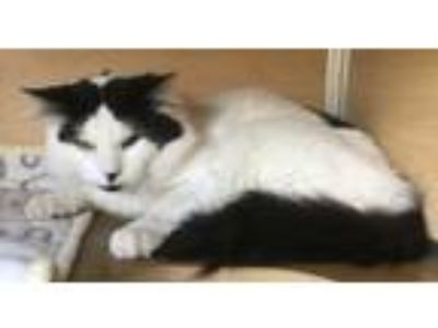 Adopt Tabasco a Domestic Medium Hair