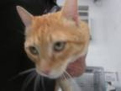 Adopt Harley a Orange or Red Domestic Shorthair cat in Weatherford