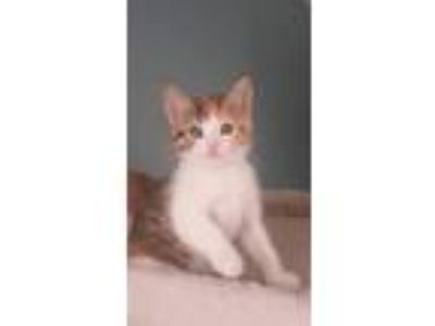 Adopt Karmann Ghia 1110 a Domestic Shorthair / Mixed cat in Bonsall
