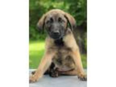Adopt Marty a Tan/Yellow/Fawn - with Black Shepherd (Unknown Type) / Mixed dog
