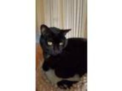 Adopt Ninja a All Black Manx cat in Oviedo, FL (25047452)