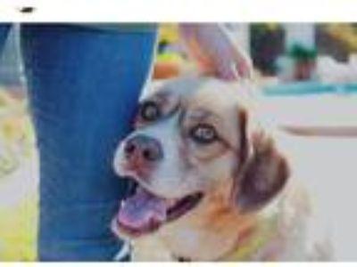 Adopt Lola a Red/Golden/Orange/Chestnut Husky / Cocker Spaniel / Mixed dog in