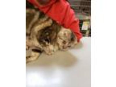 Adopt Bennie a Bengal, Domestic Short Hair