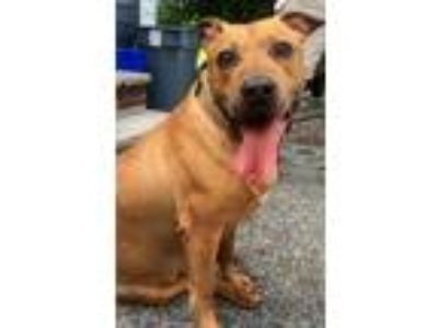 Adopt Sandman *URGT* IMMED FOSTER HOME NEEDED a American Staffordshire Terrier