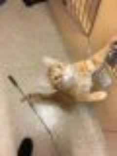 Sam Domestic Short Hair Cat