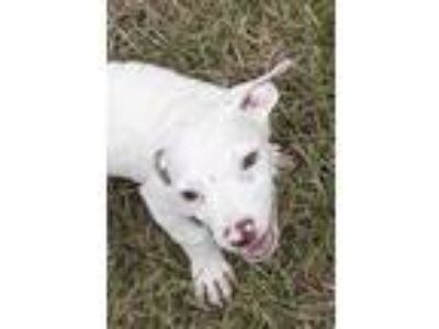 Adopt Finn a White Jack Russell Terrier / Border Collie / Mixed dog in Tampa