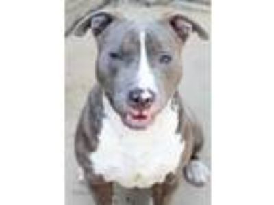 Adopt Xander a Pit Bull Terrier, Mixed Breed