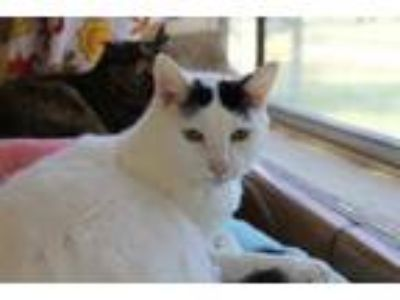 Adopt Leslie a Domestic Short Hair